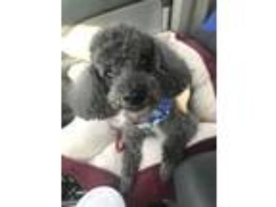 Adopt Winston a Poodle, Mixed Breed
