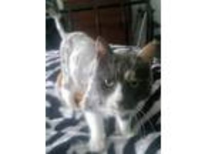 Adopt Lychee a White Domestic Longhair / Domestic Shorthair / Mixed cat in