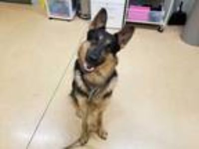 Adopt *LUKE a Black - with Tan, Yellow or Fawn German Shepherd Dog / Mixed dog