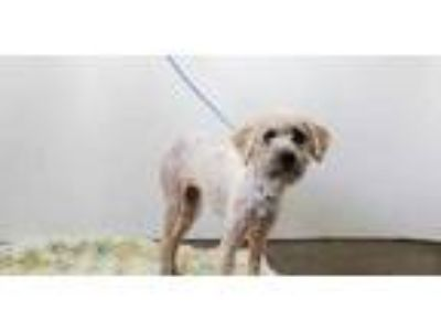 Adopt CARNATION a White Terrier (Unknown Type, Medium) / Mixed dog in San