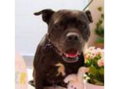 Adopt Peppa Pig a Pit Bull Terrier