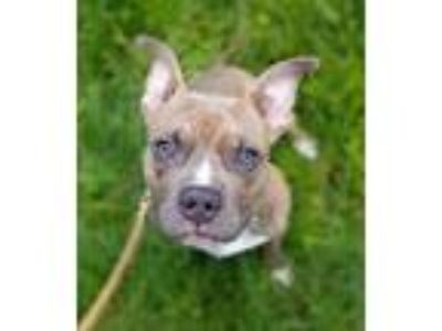 Adopt Duke a Brindle Boxer / Staffordshire Bull Terrier / Mixed dog in