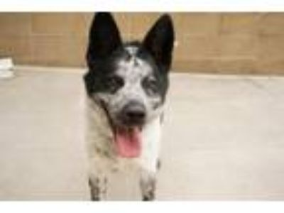Adopt DONKEY a Australian Cattle Dog / Blue Heeler