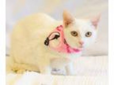 Adopt Claire a Domestic Short Hair