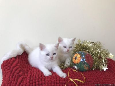 Purebred British Short HairKITTENS with blue eyes available