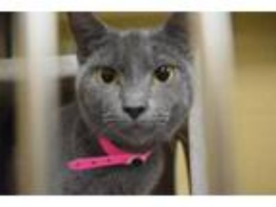 Adopt MONROE a Gray or Blue Domestic Shorthair / Mixed (short coat) cat in