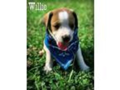 Adopt Willie a Labrador Retriever, Hound