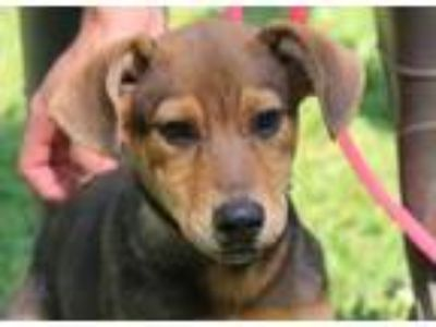 Adopt Reagan B loves toys a Labrador Retriever, German Shepherd Dog