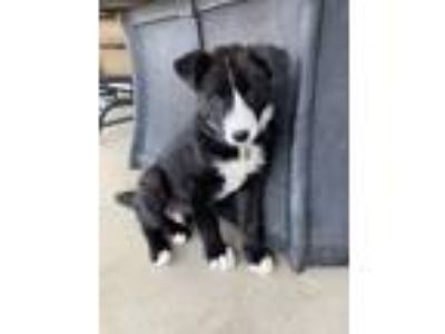 Adopt Ricky a Border Collie, Shepherd