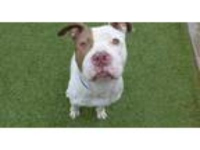 Adopt *LOKI a White - with Brown or Chocolate American Pit Bull Terrier / Mixed