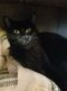 Inky Domestic Short Hair Cat
