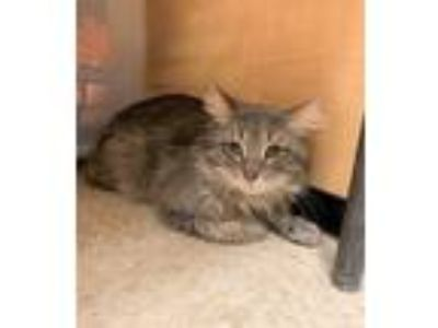 Adopt Tyson a Gray, Blue or Silver Tabby Domestic Longhair (long coat) cat in
