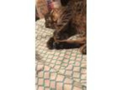 Adopt Tiger a Tiger Striped American Shorthair / Mixed cat in Baton Rouge