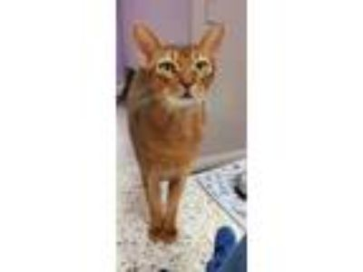 Adopt Etouffee - 'Miss Ettie' a Orange or Red Abyssinian / Mixed cat in Baton