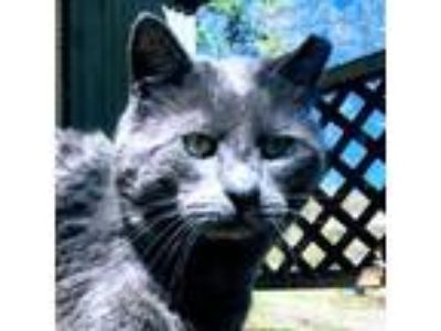 Adopt Bob a Gray or Blue Domestic Shorthair / Domestic Shorthair / Mixed cat in