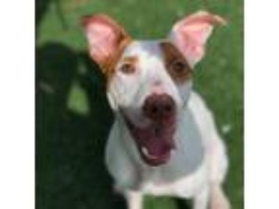Adopt Kendall a White - with Tan, Yellow or Fawn Pit Bull Terrier dog in
