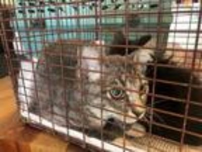 Adopt *RODGER RABBIT a Gray, Blue or Silver Tabby Domestic Shorthair / Mixed