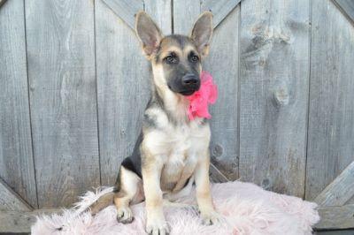 German Shepherd Dog PUPPY FOR SALE ADN-102535 - COOKIE