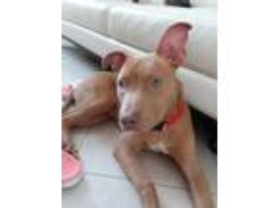 Adopt Tae a Red/Golden/Orange/Chestnut - with White Pit Bull Terrier / Mixed dog