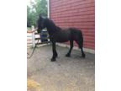 Friesian X Dutch Warmblood All Black Colt for sale
