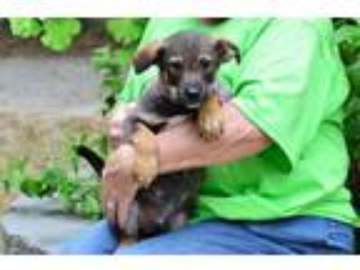 Adopt Max a Brown/Chocolate - with Black Australian Shepherd / Mixed dog in