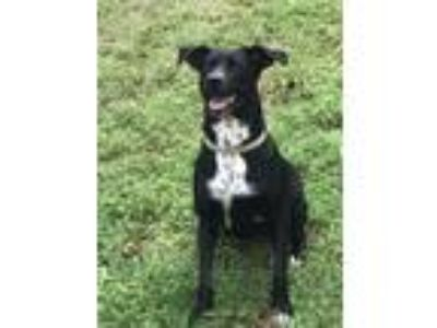 Adopt Marley a Black - with White Labrador Retriever / Retriever (Unknown Type)