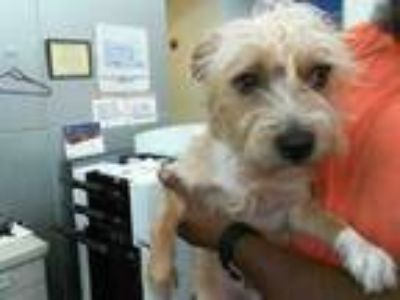 Adopt LOLA a Yorkshire Terrier, Mixed Breed
