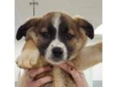 Adopt Brienne a Brown/Chocolate Border Collie / Mixed dog in Menands