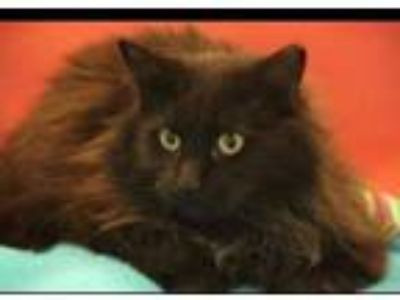 Adopt Eclairs a Maine Coon, Domestic Long Hair