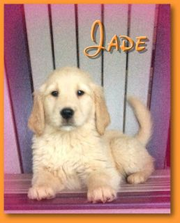 Jade Female AKC Golden Retriever