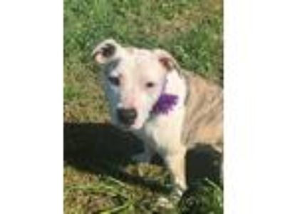 Adopt VERUCA a Brindle - with White American Pit Bull Terrier / Mixed dog in