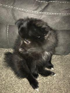 Pomeranian PUPPY FOR SALE ADN-113208 - Pomeranian