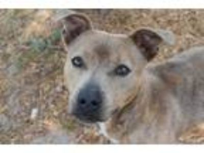 Adopt WALLY a Brindle American Pit Bull Terrier / Mixed dog in Panama City