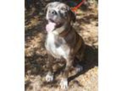 Adopt Lucky a American Staffordshire Terrier
