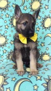 German Shepherd Dog PUPPY FOR SALE ADN-78224 - German Shepherd Puppy