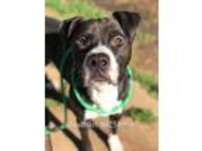 Adopt Nathan a Black Boxer / Terrier (Unknown Type, Small) / Mixed dog in Fort