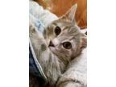 Adopt Sweet Pea 'Special Needs Kitten' a Gray, Blue or Silver Tabby Domestic