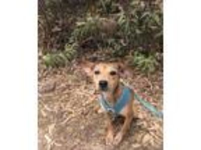 Adopt Roxy a Red/Golden/Orange/Chestnut Rat Terrier / Mixed dog in Chula Vista