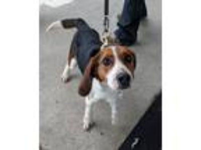 Adopt Bentley a Tricolor (Tan/Brown & Black & White) Beagle / Mixed dog in