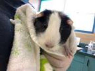 Adopt Piggie a White Guinea Pig / Mixed small animal in Clearwater