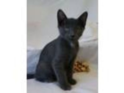 Adopt KITTEN (cc#6631) a Domestic Short Hair