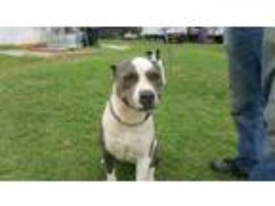 Adopt Taylee a Pit Bull Terrier