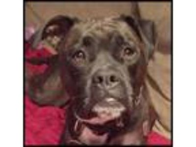 Adopt Abby - Loves kids, dogs and cats!! a Boxer