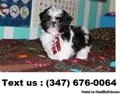QAQ2 B/G Shih Tzu Puppies For Sale