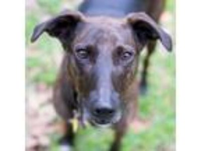 Adopt Roux a Catahoula Leopard Dog, Greyhound