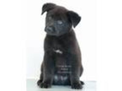Adopt Denny a Black - with White German Shepherd Dog / Labrador Retriever /