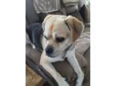 Adopt Cash a Tricolor (Tan/Brown & Black & White) Pug / Beagle dog in Little Egg