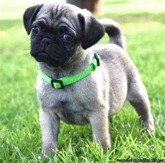 DAE Adorable M/F AKC Pug Puppies