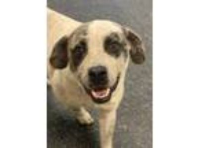 Adopt ROCK a Brindle Australian Cattle Dog / Labrador Retriever / Mixed dog in