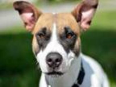 Adopt MARLA a Pit Bull Terrier, Pointer